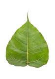 Sacred fig leaf Stock Photo