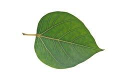 Sacred Fig leaf Royalty Free Stock Image