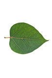 Sacred Fig leaf Royalty Free Stock Photography