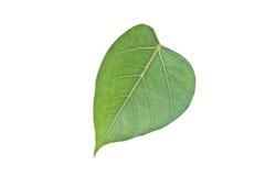 Sacred Fig leaf Royalty Free Stock Photos