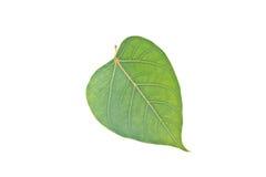 Sacred Fig leaf Stock Image