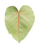 Sacred fig leaf isolated. On white background Royalty Free Stock Images