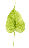 Sacred fig leaf isolated on white background,Ficus religiosa, Royalty Free Stock Images