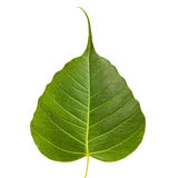 Sacred fig leaf Royalty Free Stock Photo