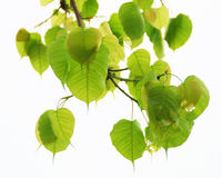 Sacred Fig leaves. Isolated on white background Royalty Free Stock Photo