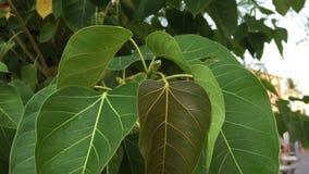 Sacred fig leaves stock video footage