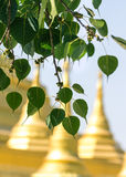 Sacred fig leaves Royalty Free Stock Photography