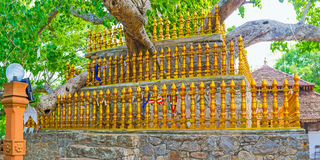 The Sacred Fig in Padeniya Temple Stock Images