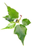 Sacred fig(peepal) leaves Stock Image