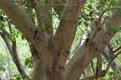 Sacred fig Pipal Tree stock photo