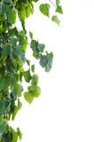 Sacred Fig Tree leaves Stock Photo