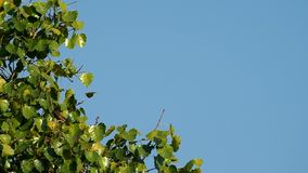 Sacred Fig Tree and myna bird stock video footage