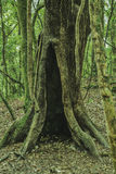 Sacred forest mawphlang Royalty Free Stock Photo