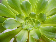 Sacred geometry of succulent. Greenery sacred geometry of succulent Stock Image
