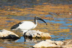Sacred Ibis Stock Photos