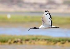 Sacred Ibis Royalty Free Stock Image