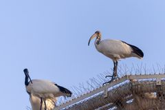 A Pair of Sacred Ibis royalty free stock images