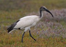 Sacred Ibis Stock Images