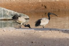 Sacred Ibis pair standing in the evening sun next to a lake Threskiornis aethiopicus. royalty free stock images