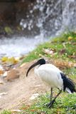 Sacred ibis. A sacred ibis walks near a waterfall Royalty Free Stock Photography