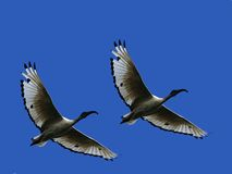 Sacred Ibis. Flying over head with bright blue backgound Royalty Free Stock Image
