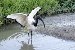 Sacred Ibis. A scared Ibis in flight Royalty Free Stock Images