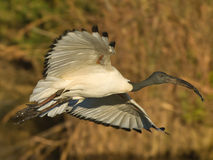 Sacred ibis. Locally common resident.  Heavy body and shorter legs. Curved black bill. Black head and neck contrast with white body. Occurs at flooded lands Royalty Free Stock Images