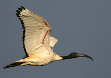 Sacred Ibis Stock Photo
