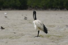 Sacred Ibis Royalty Free Stock Photo