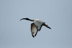 Sacred Ibis royalty free stock photos