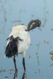 Sacred ibis, African sacred ibis Royalty Free Stock Image