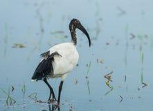 Sacred ibis, African sacred ibis Stock Image