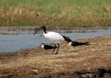 Sacred ibis and african skimmers Stock Photo