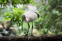 Sacred Ibis bird Stock Photography