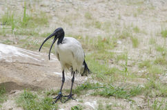 Sacred ibis 3 Stock Photography