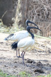 Sacred ibis couple Stock Photo