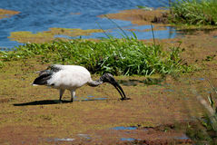 Sacred Ibis feeding Royalty Free Stock Photos