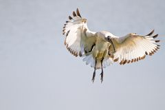 Sacred Ibis in flight Royalty Free Stock Images