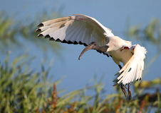Sacred Ibis in flight. African Sacred Ibis pictured in Cape Town South Africa Stock Photo