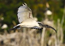 Sacred ibis in flight Royalty Free Stock Photo