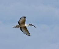 Sacred Ibis in flight Royalty Free Stock Photos