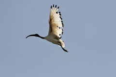 Sacred Ibis flying in backlight Royalty Free Stock Photography