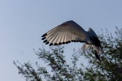 A Sacred Ibis flys in for a landing royalty free stock photography
