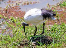 Sacred Ibis foraging for food from a small pontoon in South Luangwa Stock Photos