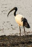Sacred ibis on the fore shore Royalty Free Stock Photography