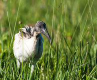 Sacred Ibis in grass Royalty Free Stock Photography