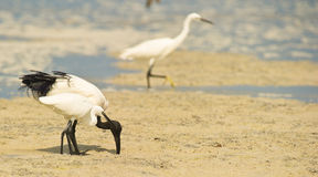 A Sacred Ibis helping a Little Egret royalty free stock images
