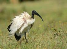 Sacred ibis, Lake Naivasha, Kenya Royalty Free Stock Photography