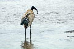 Sacred ibis, Lake Nakuru National Park, Kenya Stock Photography