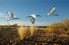 Sacred Ibis montage Stock Image